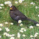 Blackbird drop in! by dougie1