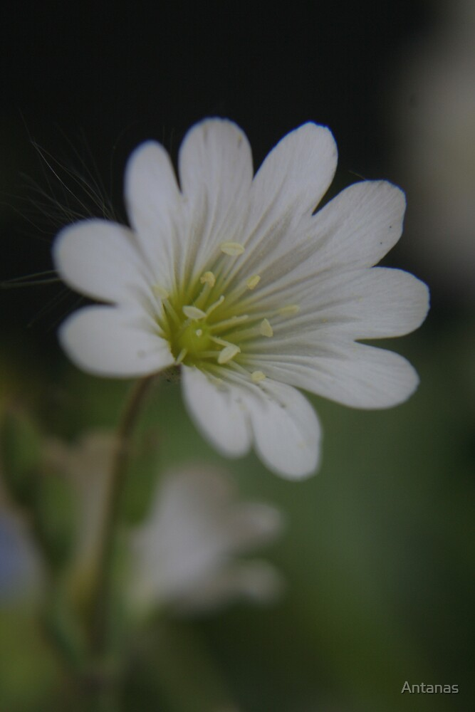 White (from willd flowers collection) by Antanas