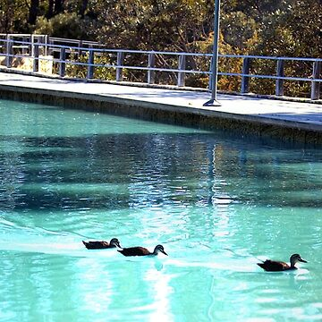 3 Ducks swimming Happily by TeAnne