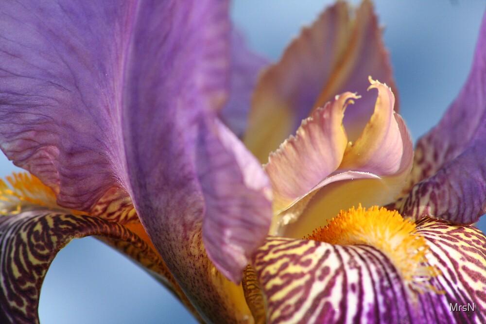 The Iris by MrsN