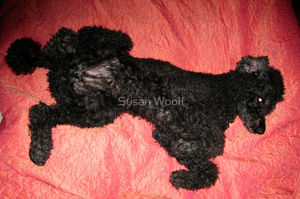 Poodle in bed by Susan Woolf