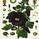 «Althaea rosea cav» de enami