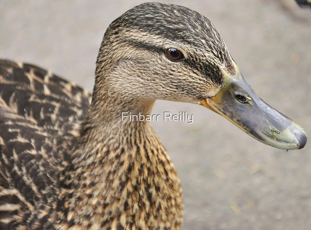Ducky by Finbarr Reilly