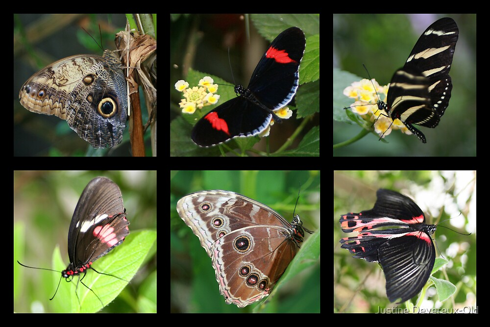 Butterflies by Justine Devereux-Old