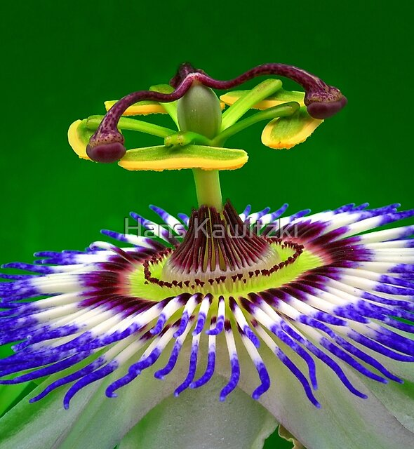 1790 Passion fruit flower by Hans Kawitzki