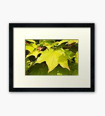 Green Japanese Acer Leaves in Spring Framed Print