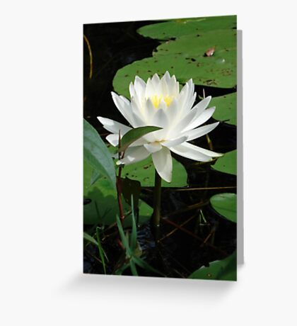 Nymphaea odorata Greeting Card