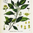 «Cinnamomum Camphora E.nees le Berm» de enami