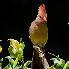 Cardinal on a Stick by TJ Baccari Photography