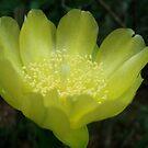 Prickly Pear Blossom by May Lattanzio