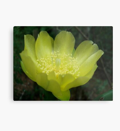 Prickly Pear Blossom Metal Print