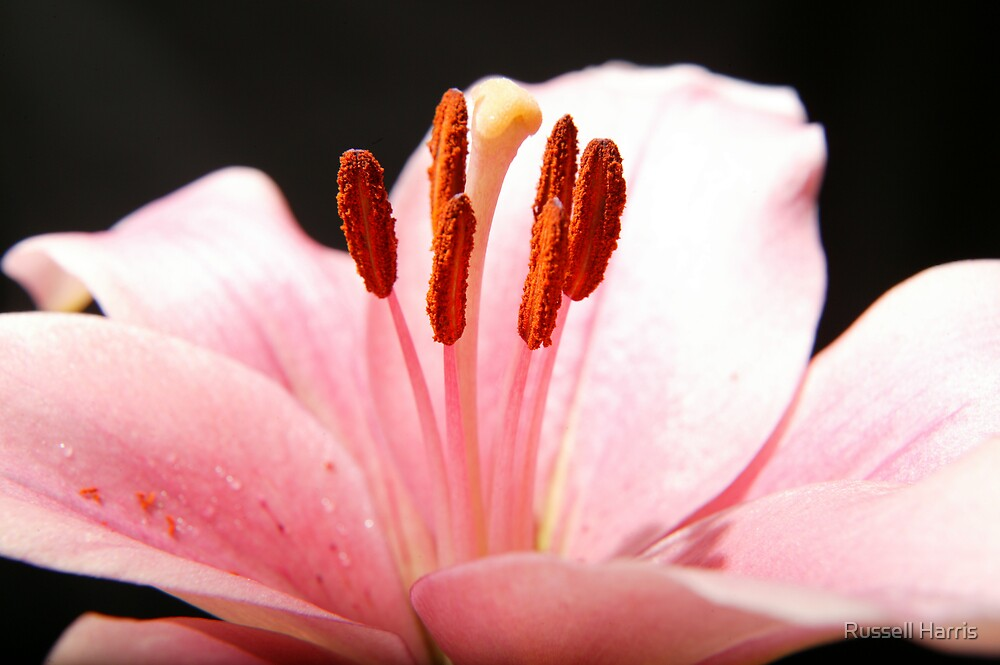 Pink flower by Russell Harris