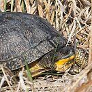 Blanding's Turtle Side by Deb Fedeler