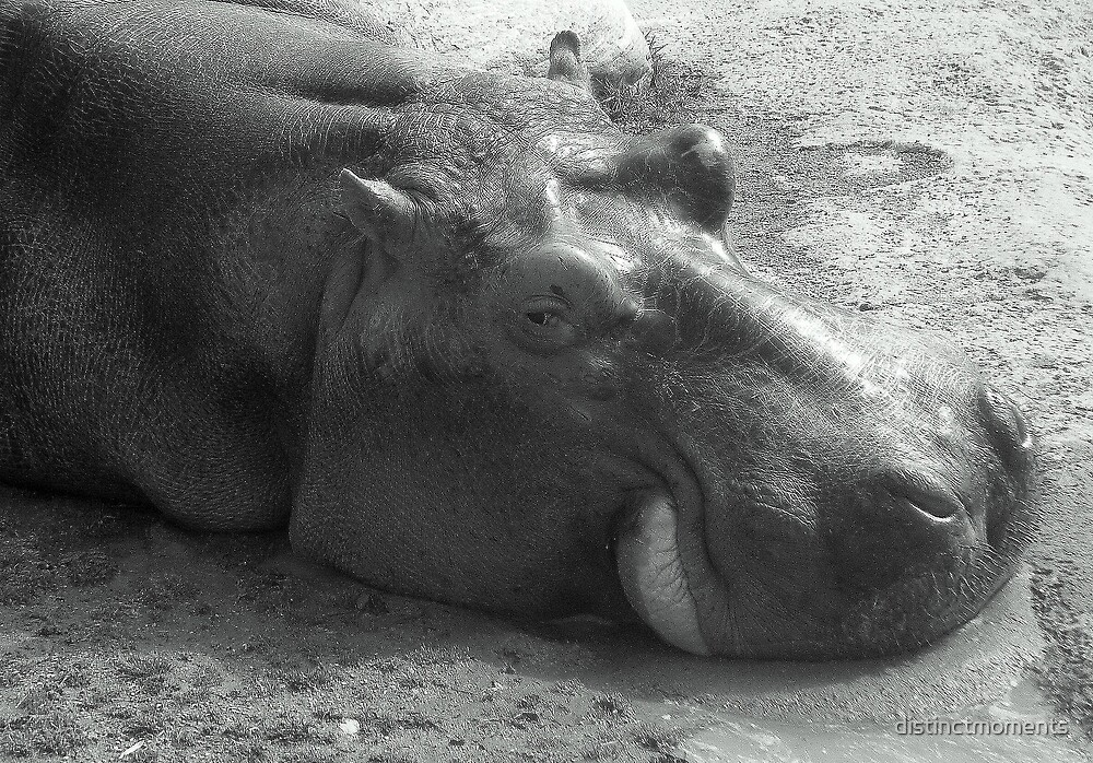 Hippo by distinctmoments
