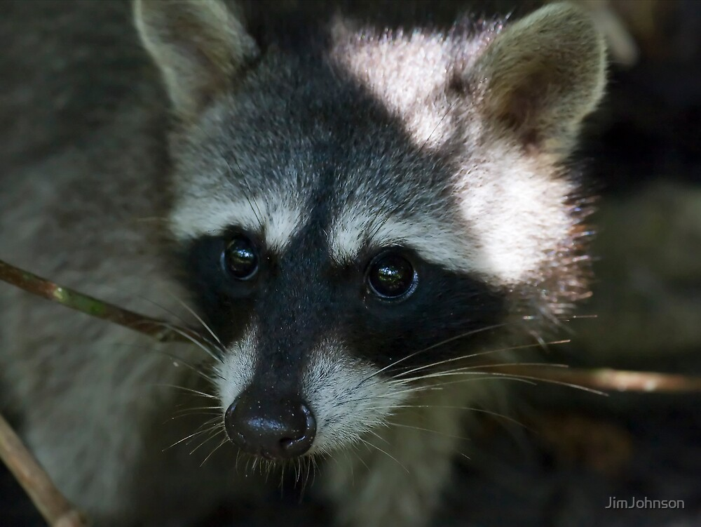 Racoon by JimJohnson