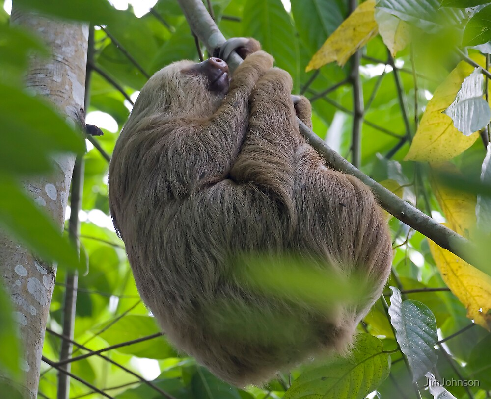 Two-toed Sloth by JimJohnson