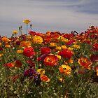 A Field of Ranunculus by CarolM