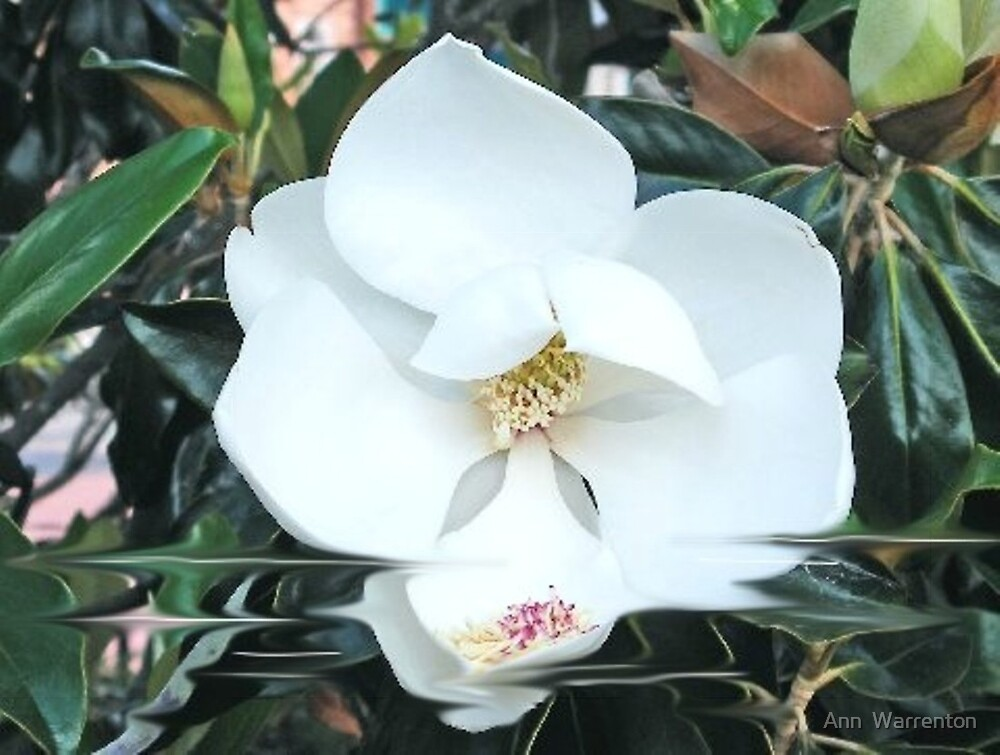 Magnolia by Ann  Warrenton