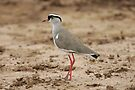 Crowned Lapwing by David Clarke