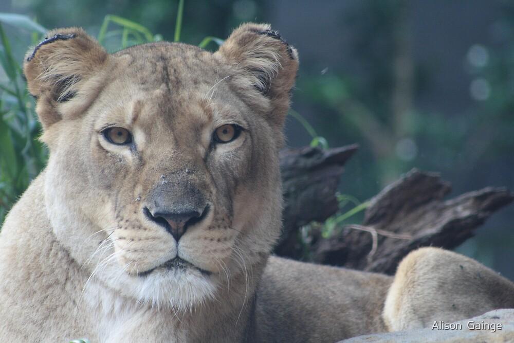 Lioness by Alison  Gainge