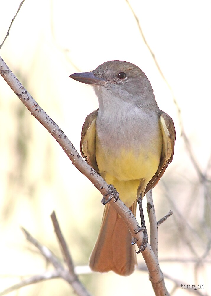 Brown-crested Flycatcher by tomryan