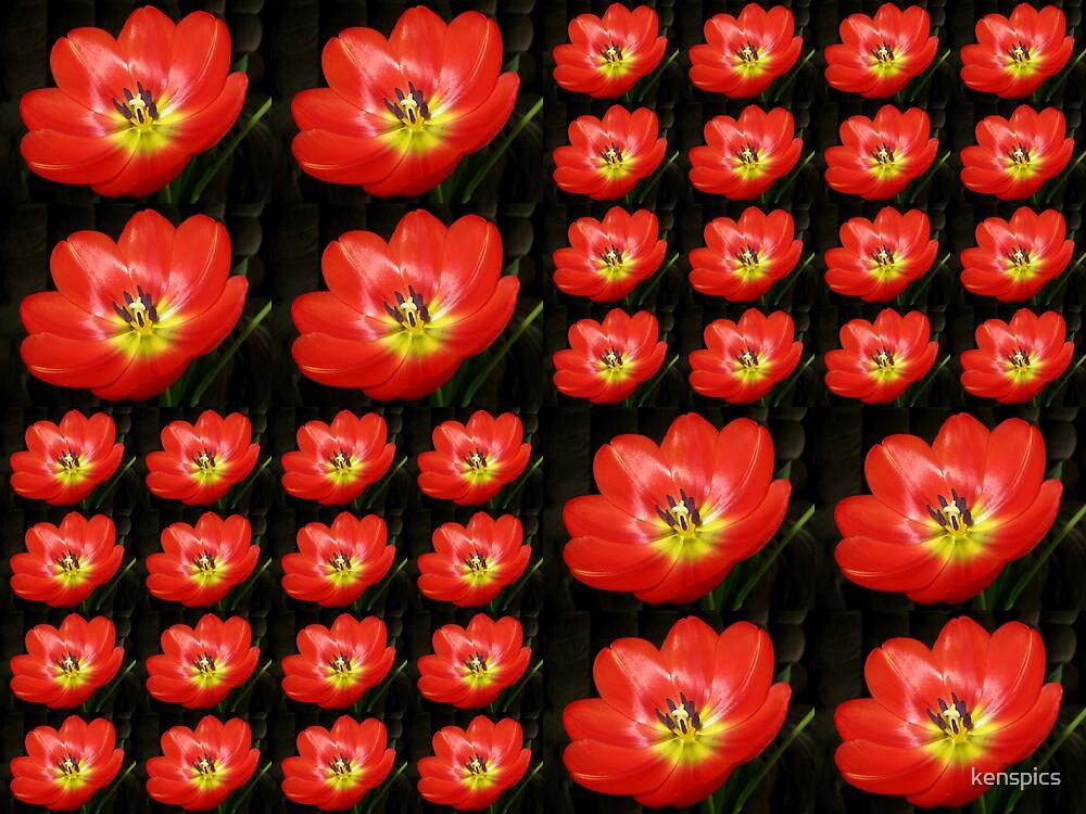 Tulip Field by kenspics