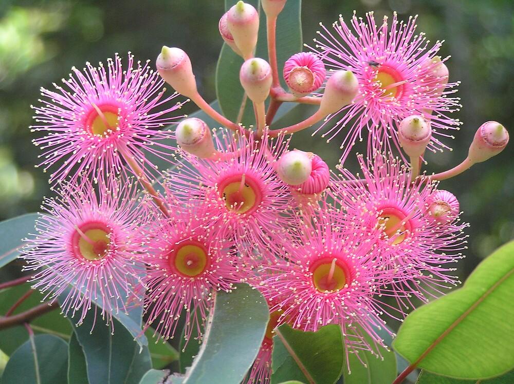 Flowering Gum Blossums by raymoore6160