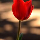 One Tulip by Evita