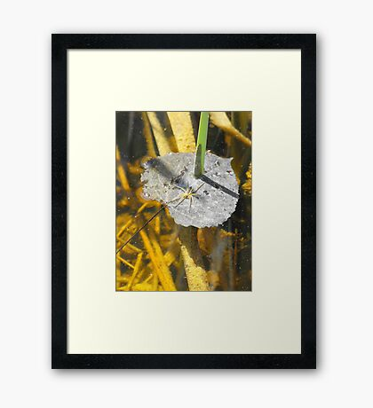 Waiting for lunch to swim by. Framed Print
