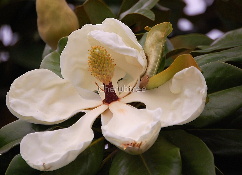 Magnolia Blossom: by Cherubtree