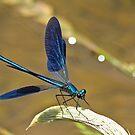 Deep Blue Wings by Robert Abraham