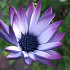 Blaze of Glory - Beautiful African Daisy by Kathryn Jones