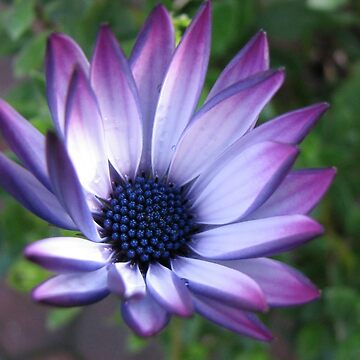 Blaze of Glory - Beautiful African Daisy by kathrynsgallery