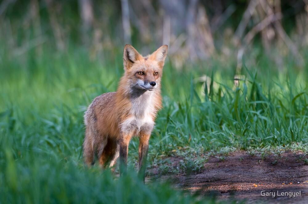 Fox by Gary Lengyel