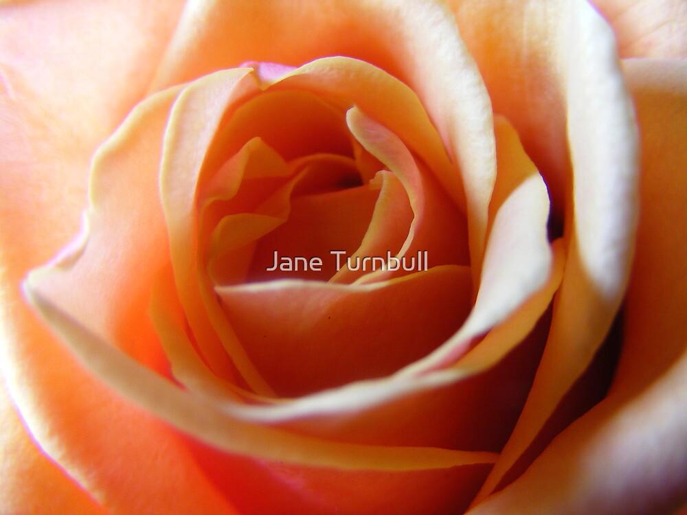 peach rose by Jane Turnbull