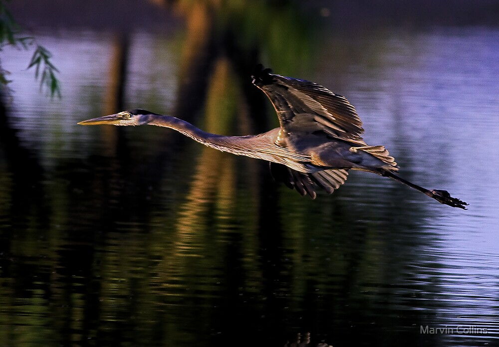052009 Great Blue Heron by Marvin Collins
