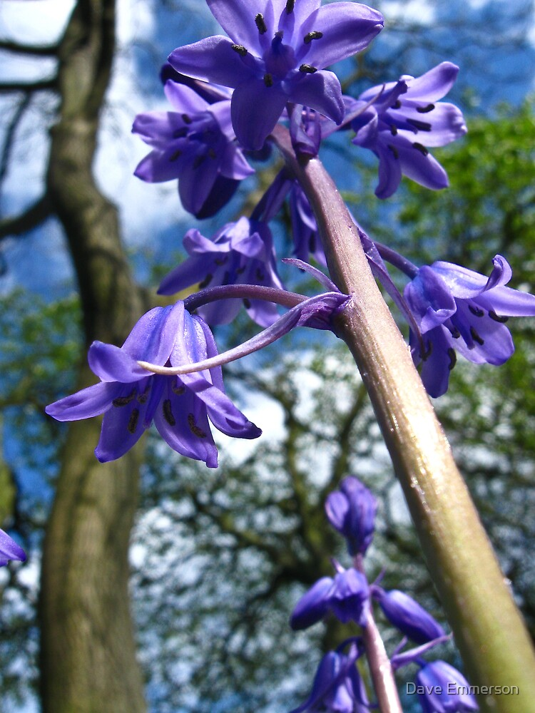 Bluebells by Dave Emmerson