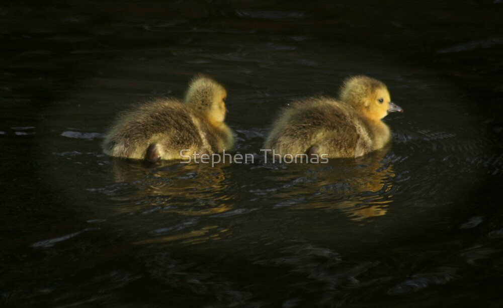 Fuzzballs on the Water by Stephen Thomas