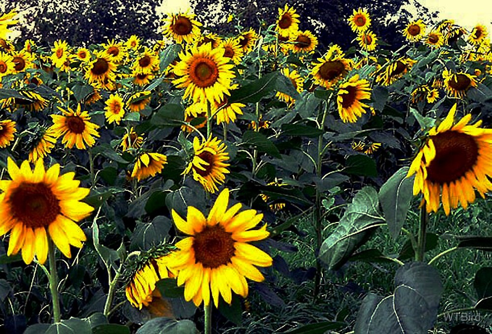 Sunflowers In The Wind by WTBird
