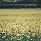The yellow fields by James Galler