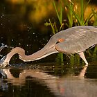 GREAT Blue Heron Fishing by TJ Baccari Photography