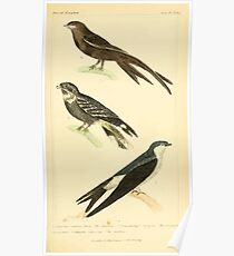 The Animal Kingdom by Georges Cuvier, PA Latreille, and Henry McMurtrie 1834 681 - Aves Avians Birds Poster