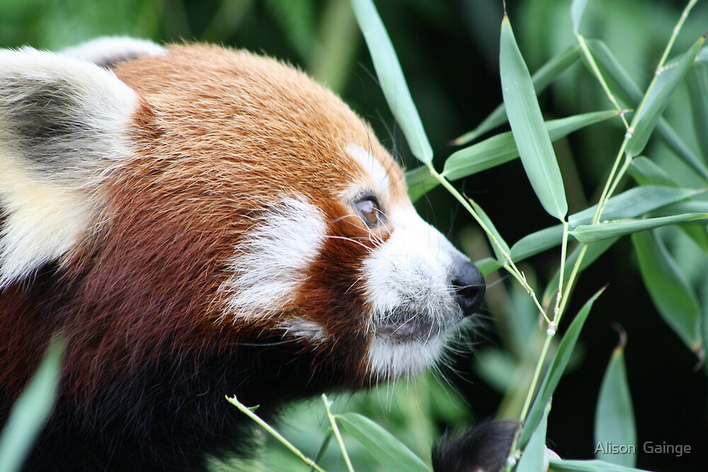 Red Panda  by Alison  Gainge