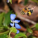 Blue Banded Bee in-Flight by Greg Carlill