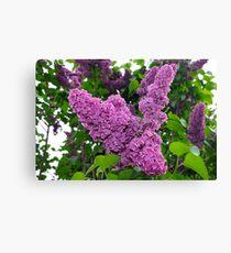 Purple lilac tree Canvas Print