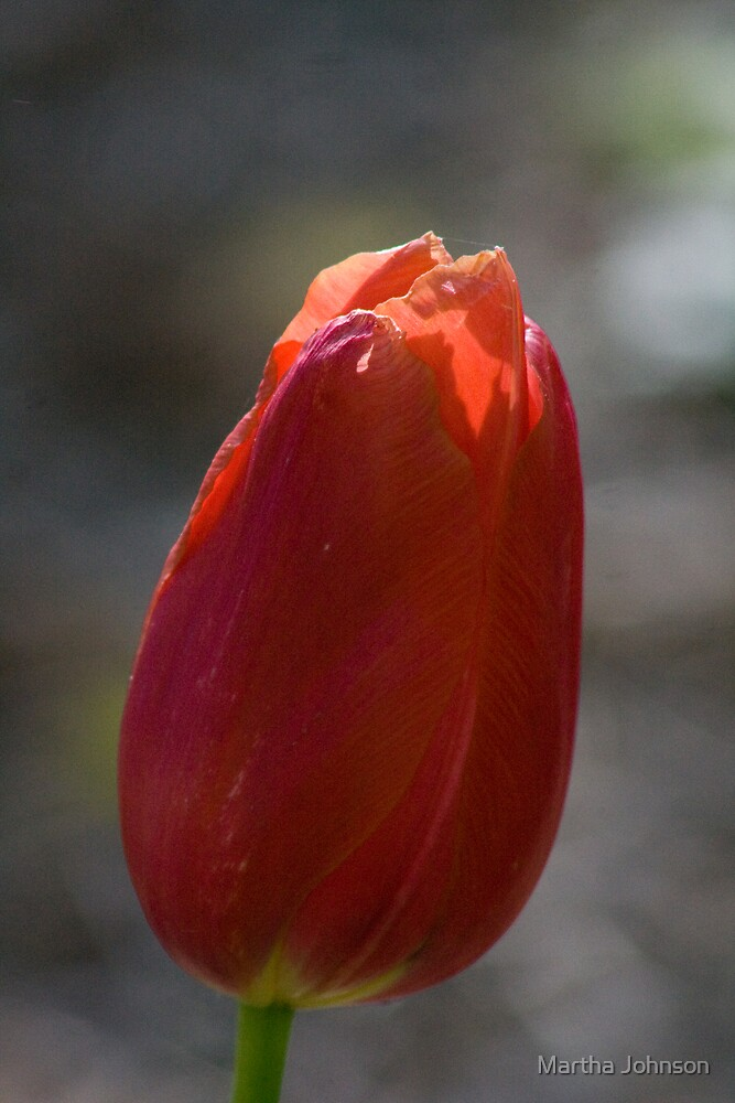 Tulip 3 by Martha Johnson