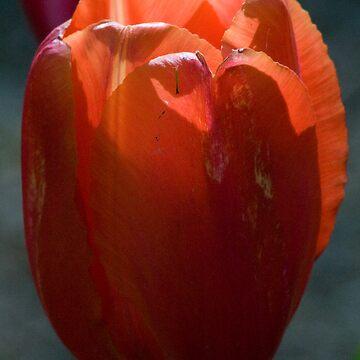 Tulip 5 by mlcltd