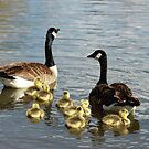 Canada Geese Family by Lori Peters