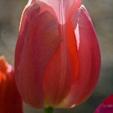 Tulip 7 by mlcltd
