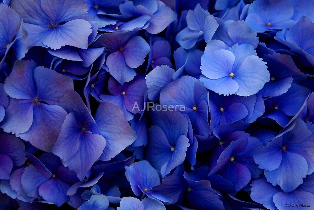 Blue Hydrangeas by AJRosera